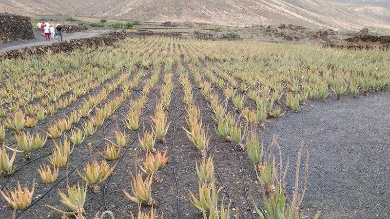 Besuchen Sie ein Aloe Vera Anwesen auf Lanzarote
