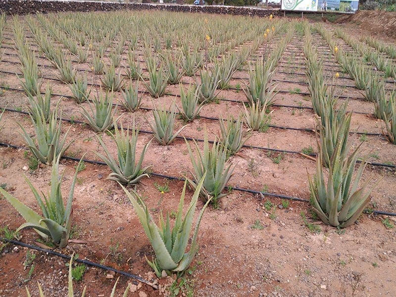 Besuch der Aloe Vera Farm