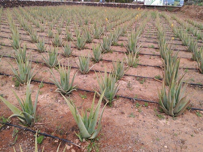 Visit to the Aloe Vera farm